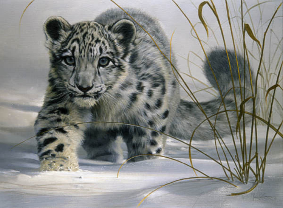 Adorable Snow Leopard Cub Walking on the Snow: Young Snow Leopard Cubs live with their mothers for up to 2 years. After which they leave their mothers and live independent solitary lives.