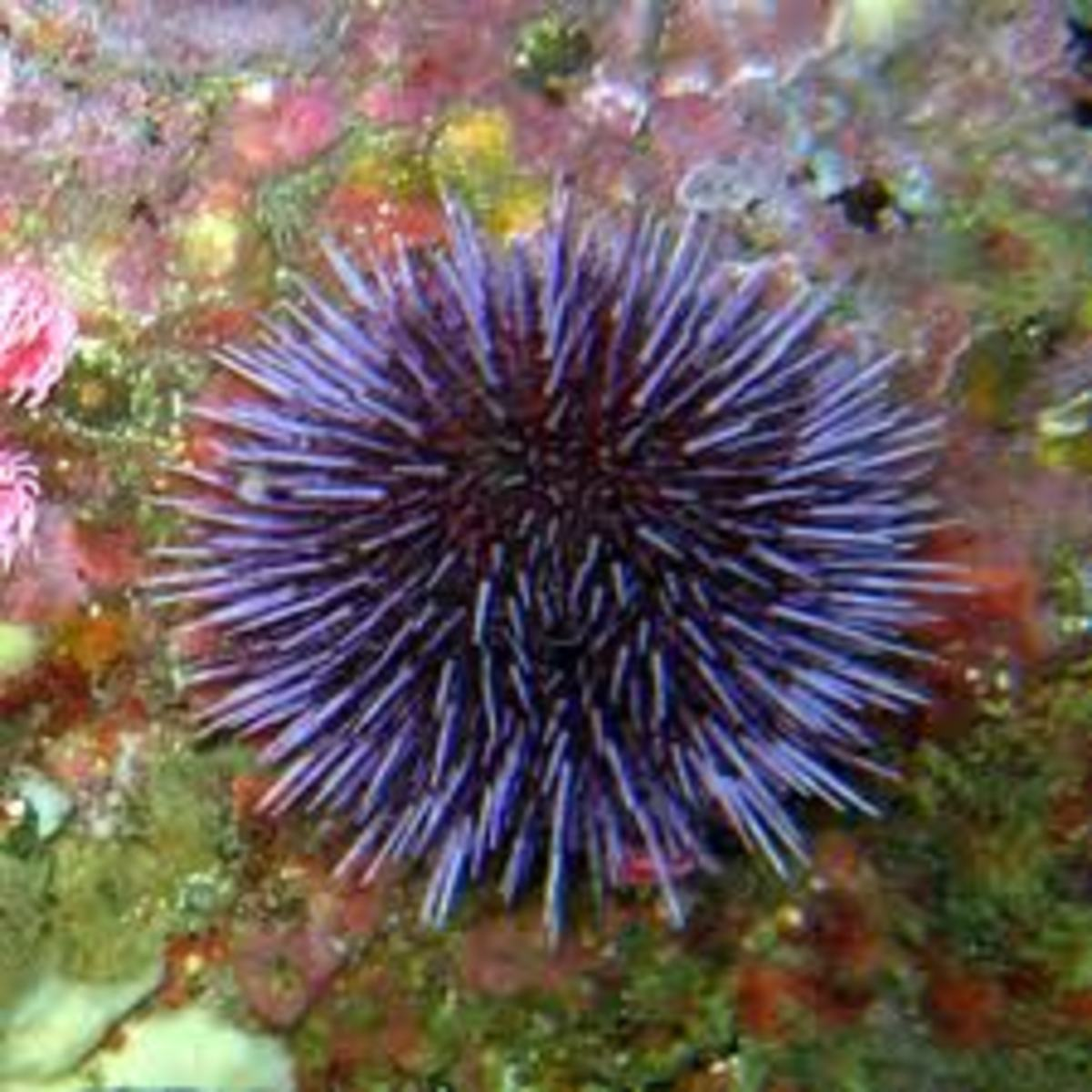 a purple sea urchin