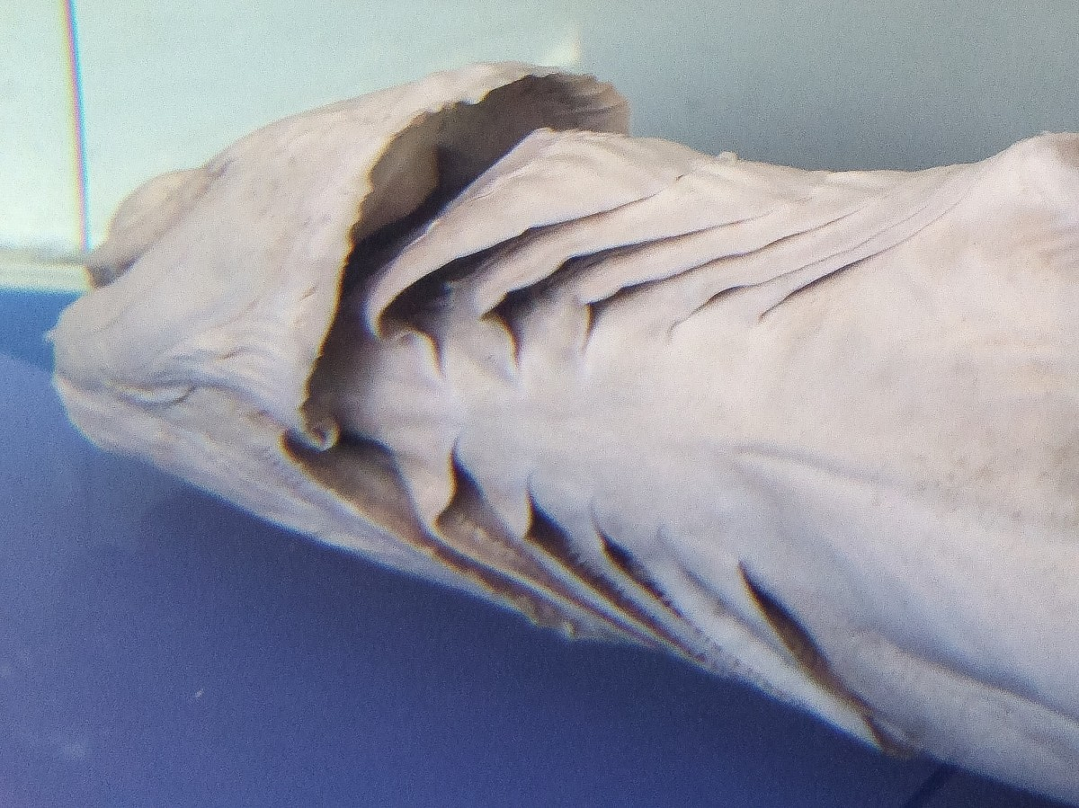 The gill slits on the underside of a preserved frilled shark