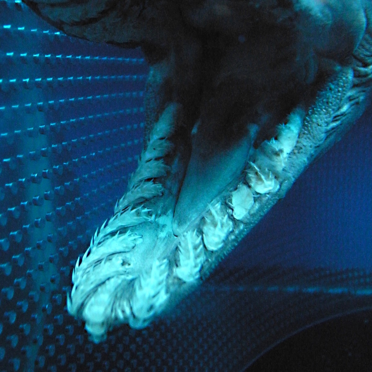 The teeth of a frilled shark