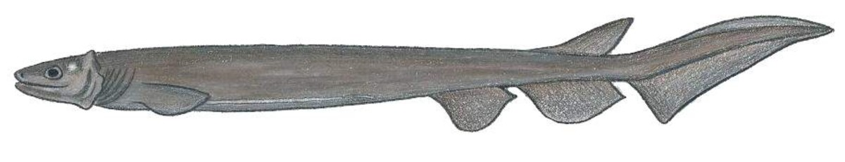 A drawing of a frilled shark; the shark has only one dorsal fin and has a different body shape from other sharks