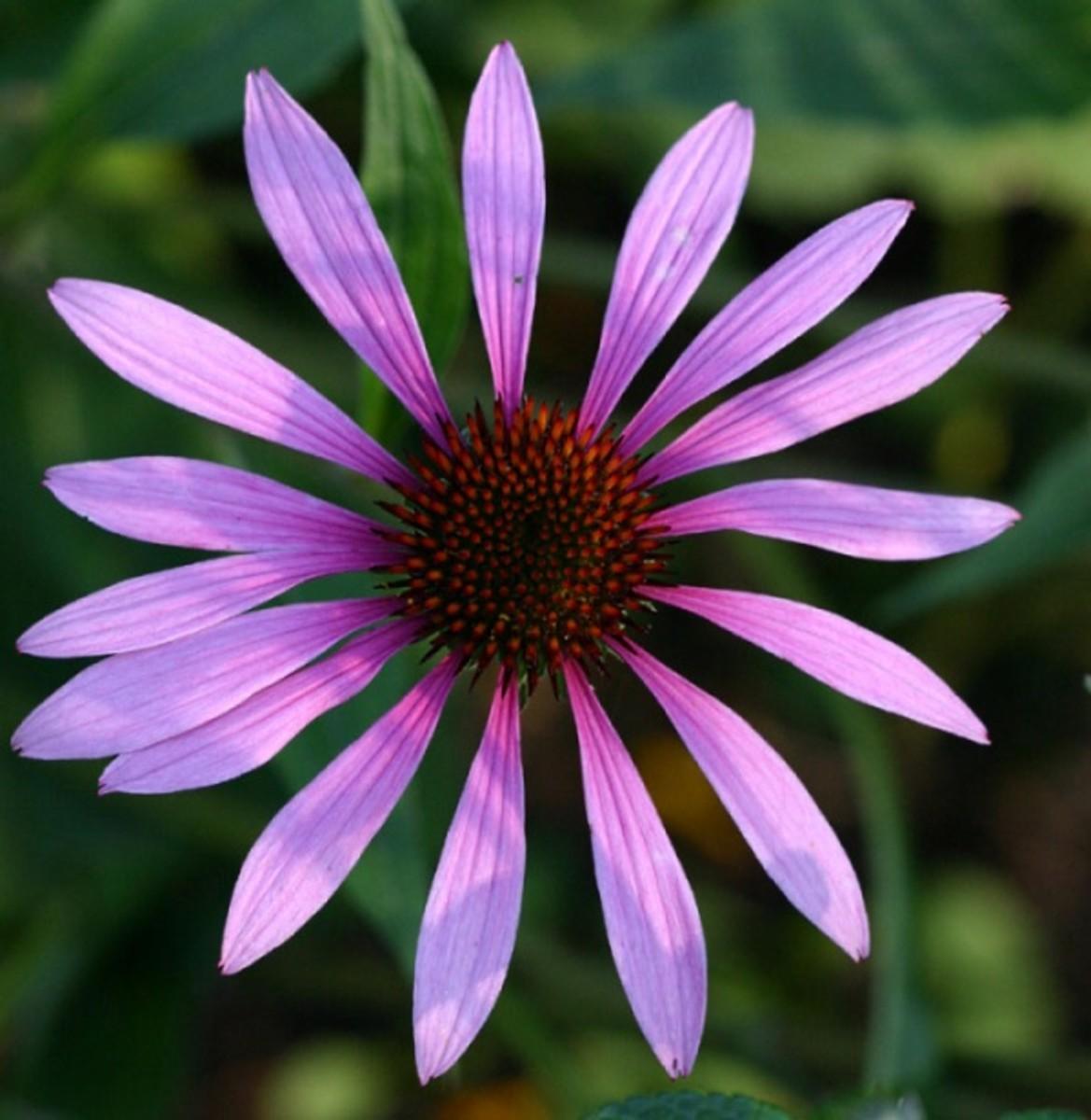 11:  Echinacea (Echinacea pallida)