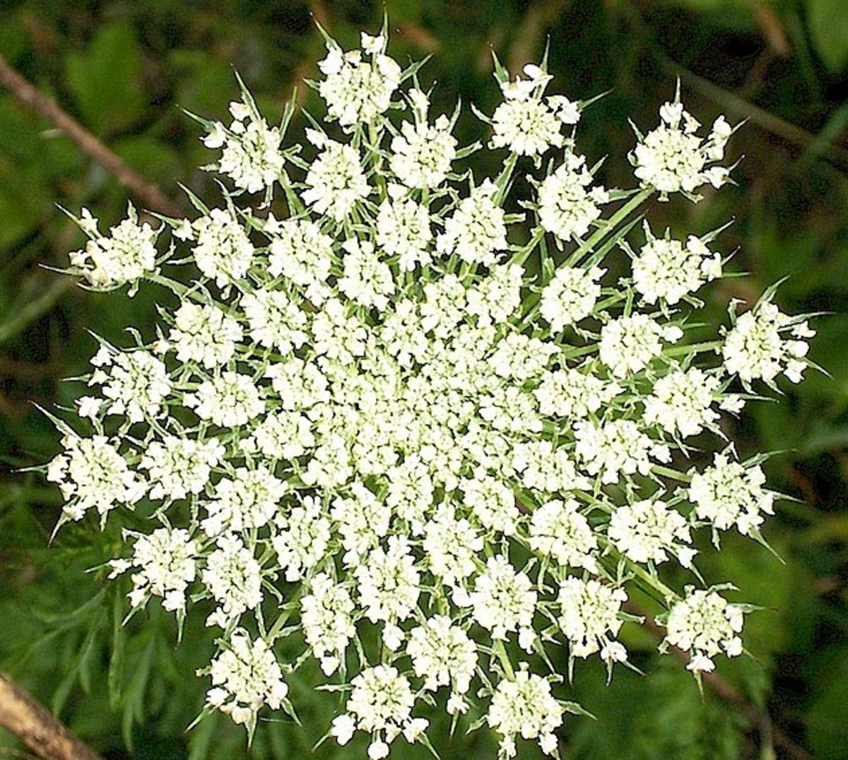 7:  Queen Anne's Lace (Daucus carota)