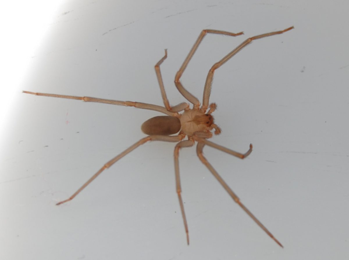 brown-recluse-identification