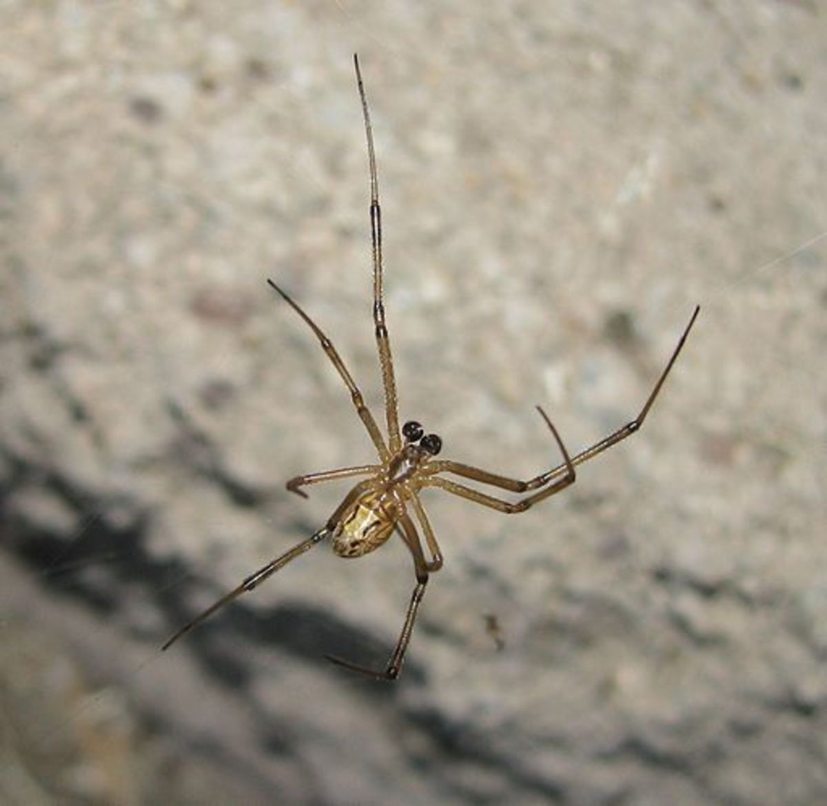 Being a male black widow is a tough job. To identify a male, look for the light brown brown body and its disproportionately large eyes.