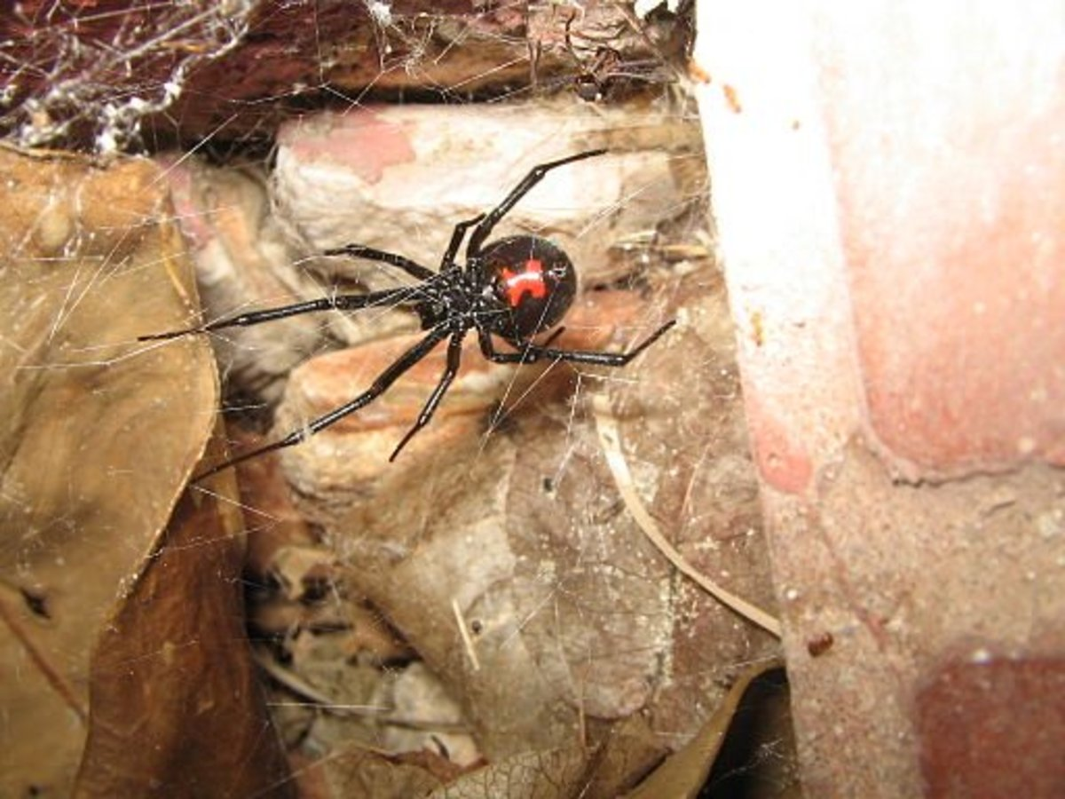 A black widow building a web.