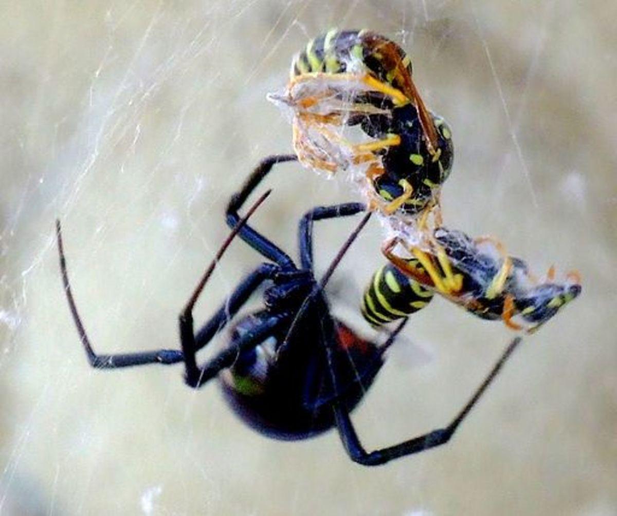 Female black widow with her prey.