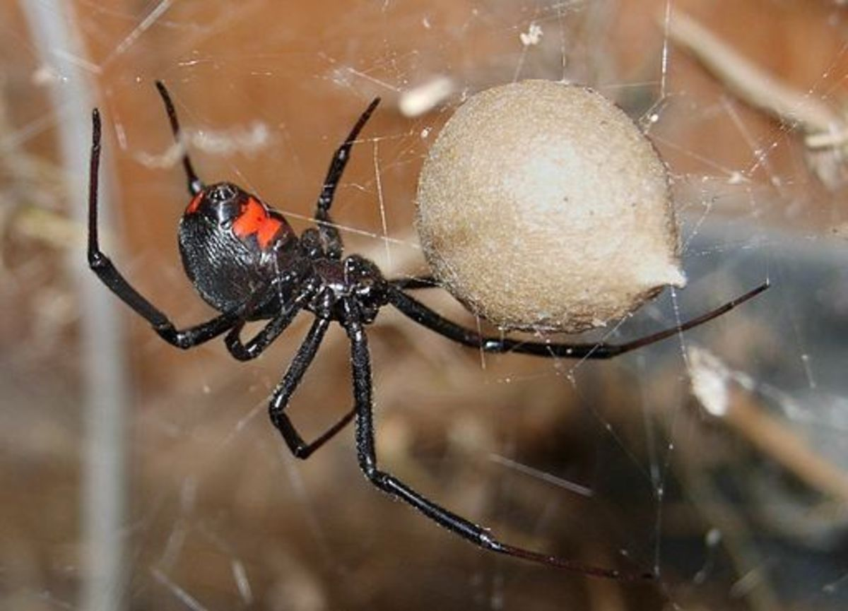 A black widow's egg sac.