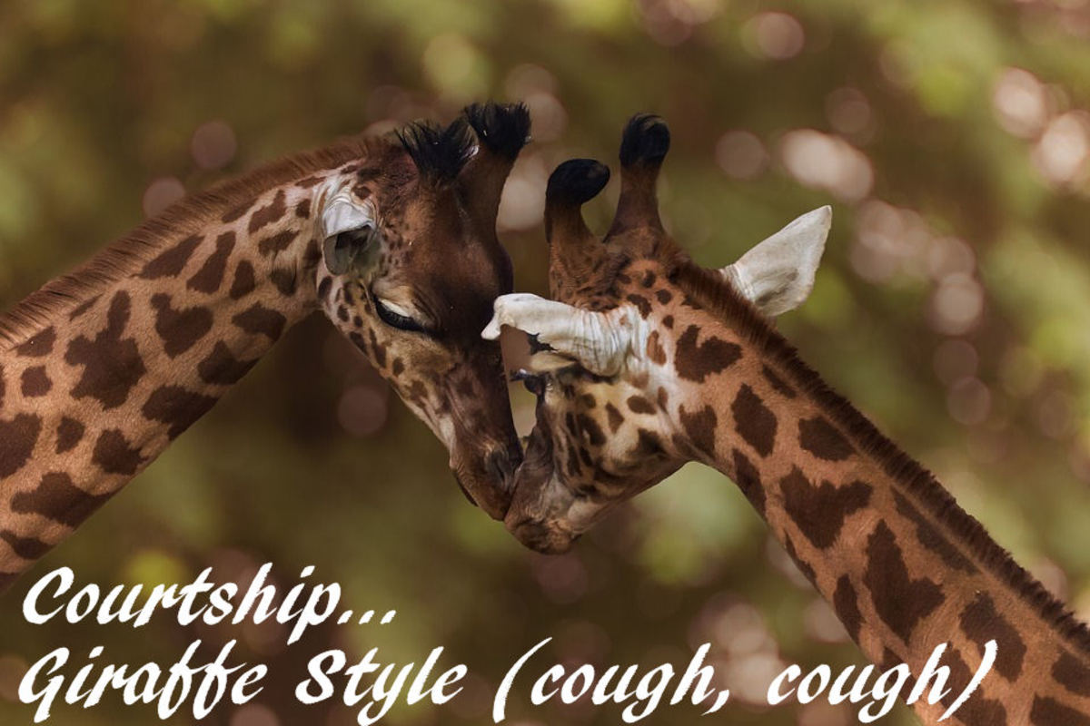 MAle and female giraffe courting sounds