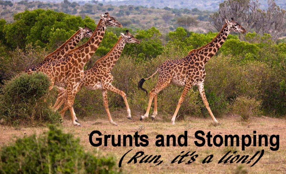 A group of giraffes exhibiting the alarm soun