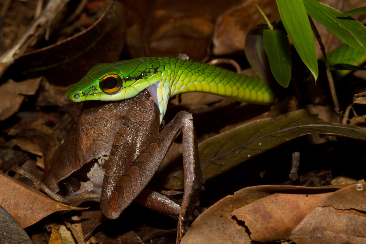 One of the quintessential images of 'eating': A Parrot snake (Leptophis ahaetulla) eating (in this case a frog)