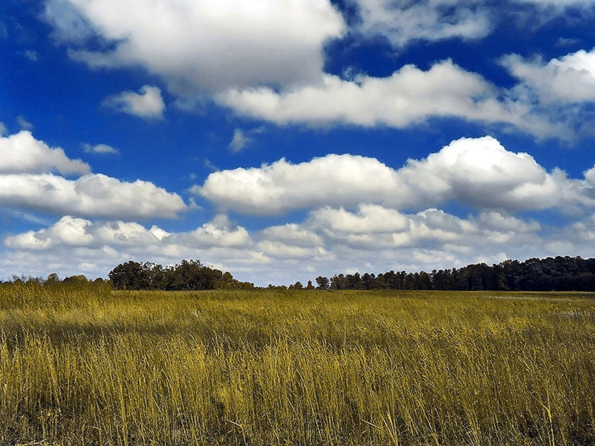 Puffy cumulus clouds over a golden meadow