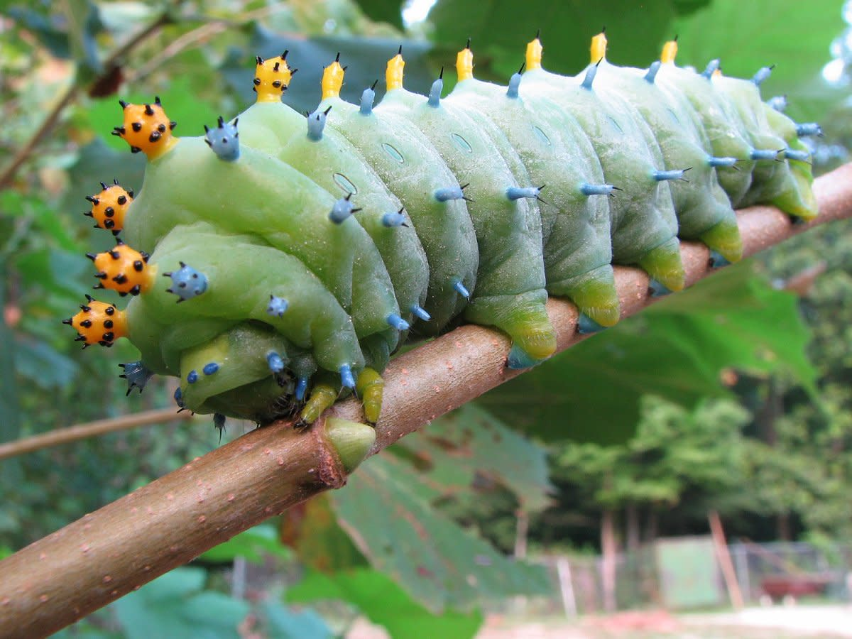 The cecropia moth caterpillar, one of the largest and most impressive species in North America, is completely harmless and does not sting.