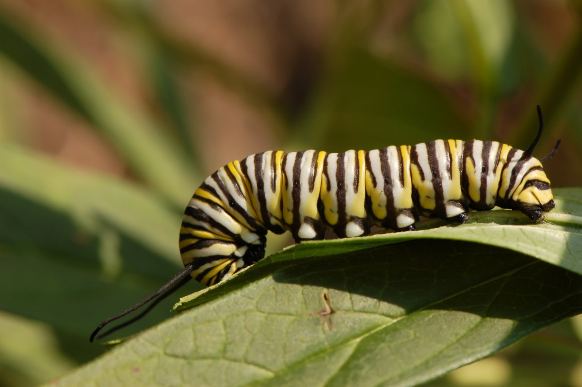The Monarch caterpillar feeds exclusively on milkweeds