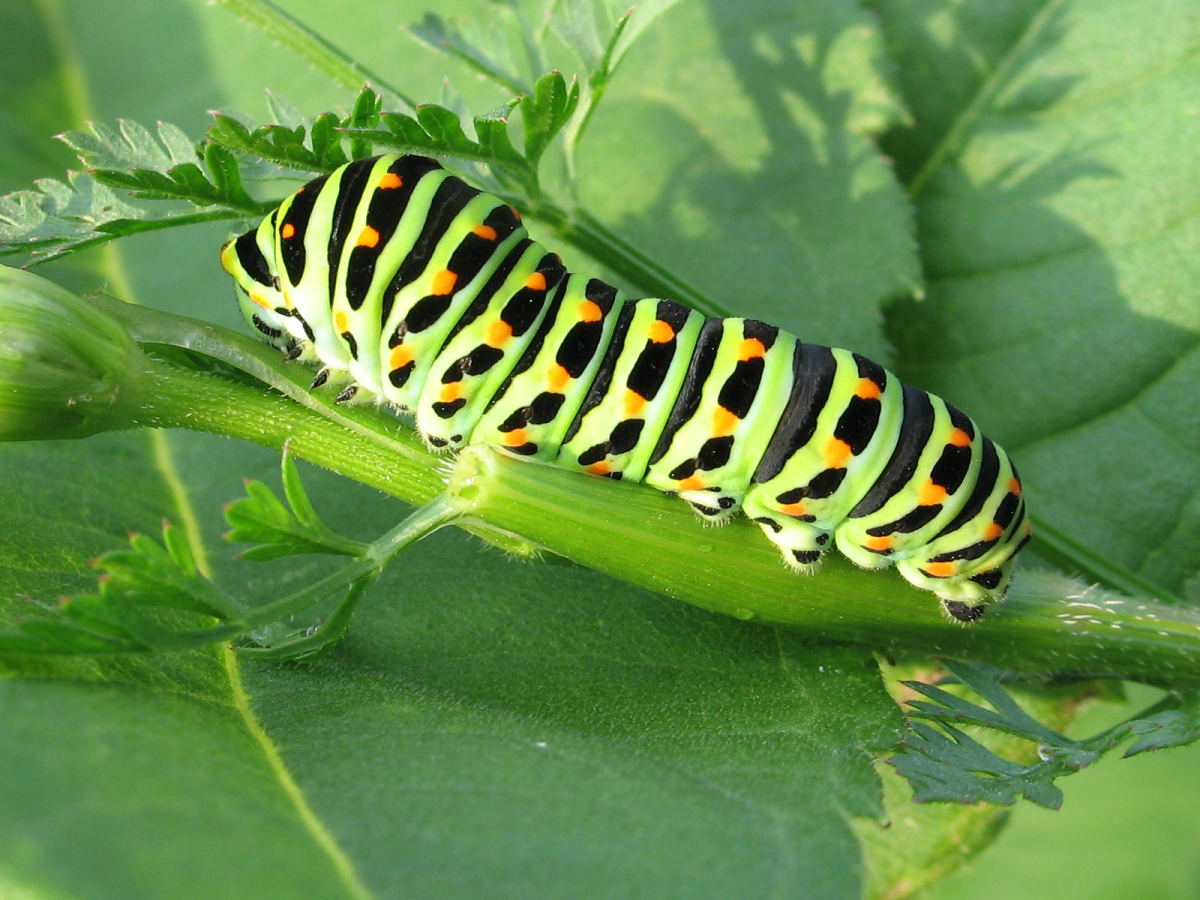 The black swallowtail caterpillar eats carrots, parsley, and fennel