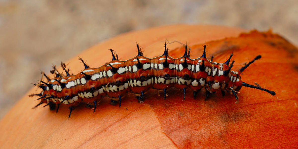 The caterpillar of the variegated fritillary