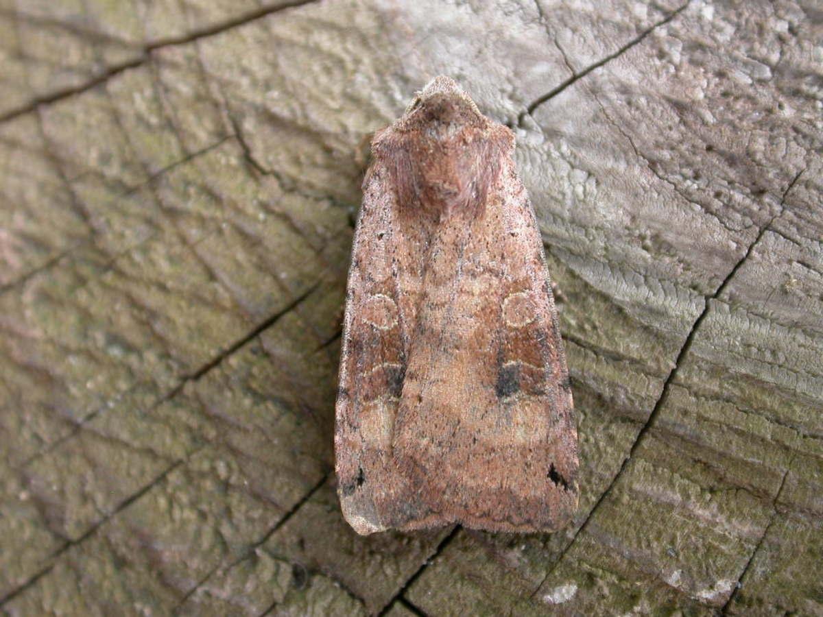 Xestia baja, a typical cutworm moth.