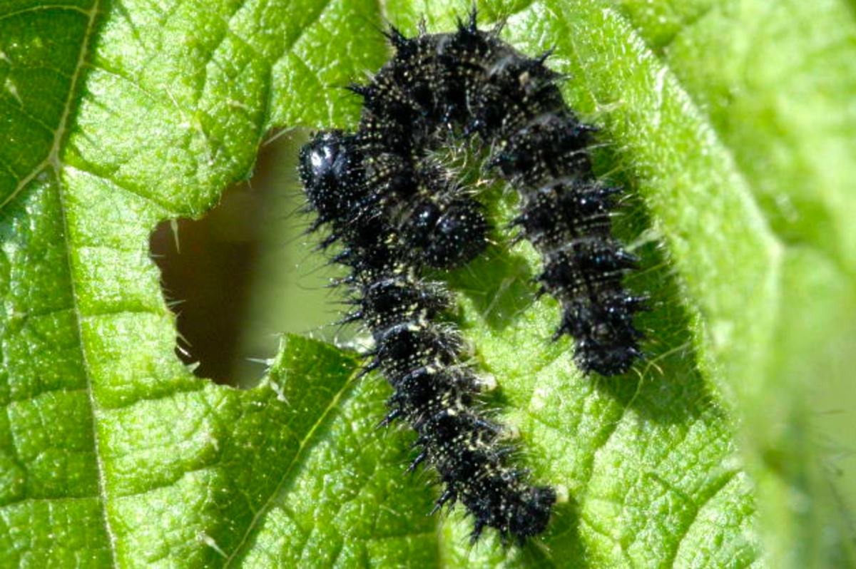Red Admiral caterpillars eat stinging nettle