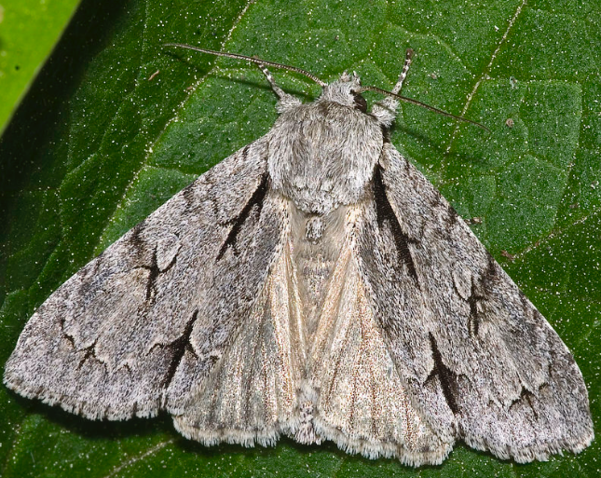 This is a typical dagger moth, similar to the smeared dagger moth.