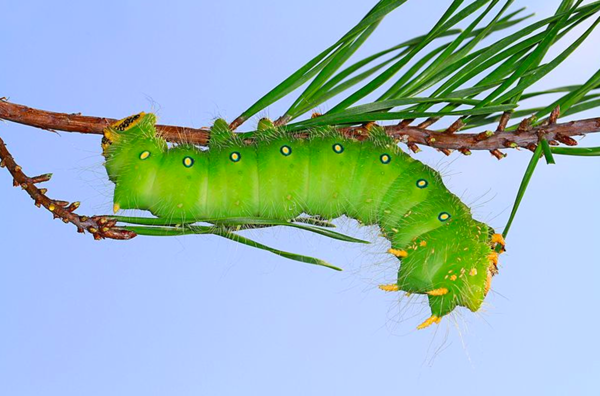 Green Form of the Imperial Moth Caterpillar