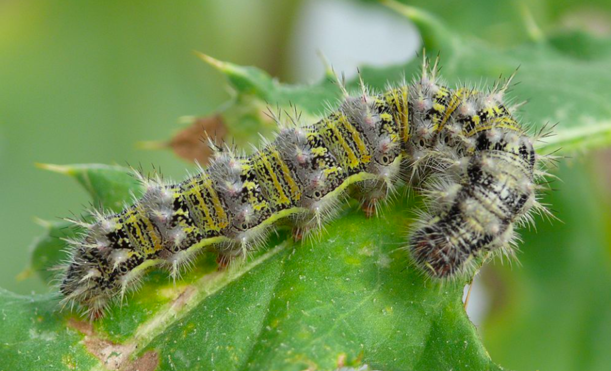 The painted lady caterpillar is often included in butterfly-raising kits.