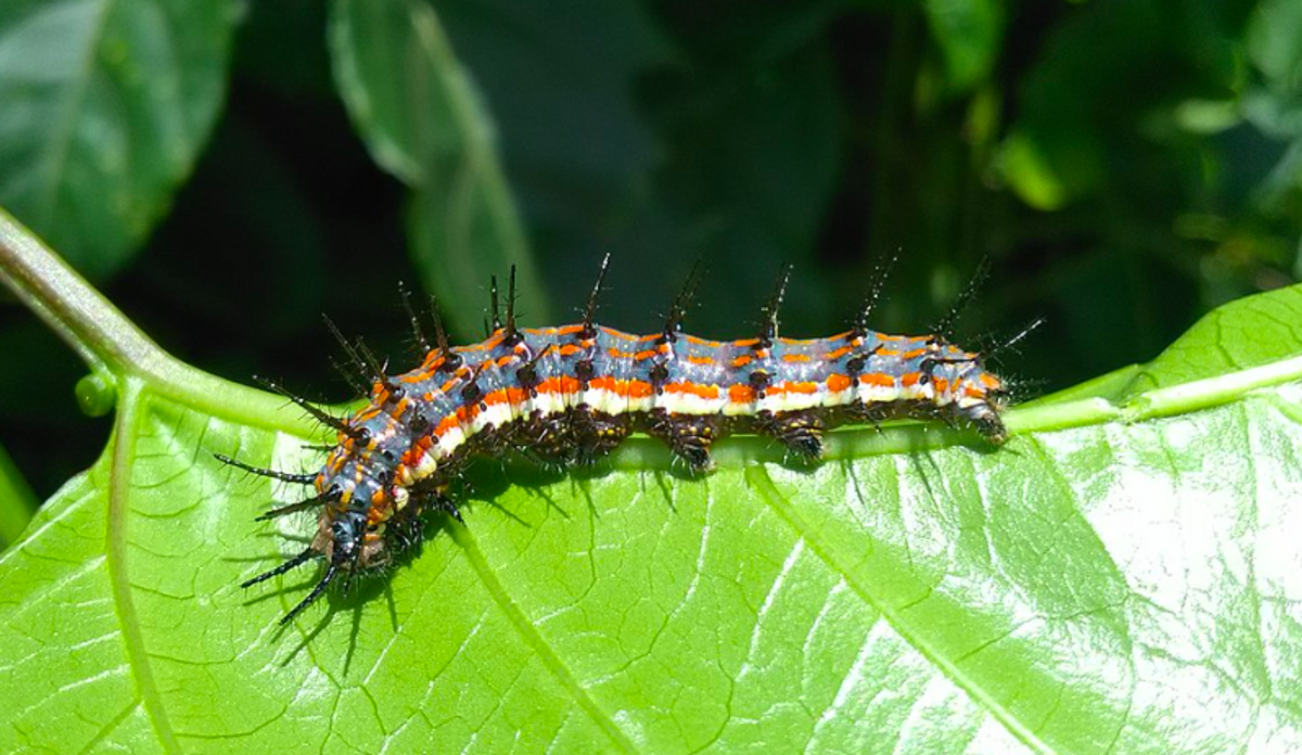 The caterpillar of the gulf fritillary