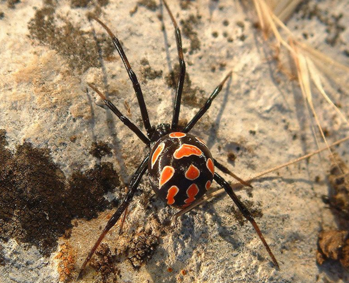 Latrodectus tredecimguttatus, the Mediterranean black widow