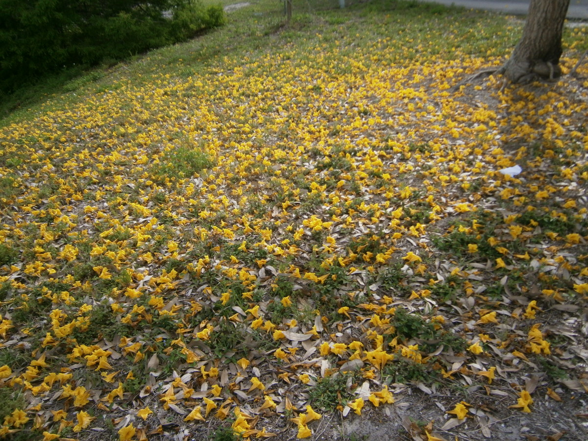 When the blossoms fall from the tree, they create a yellow carpet.