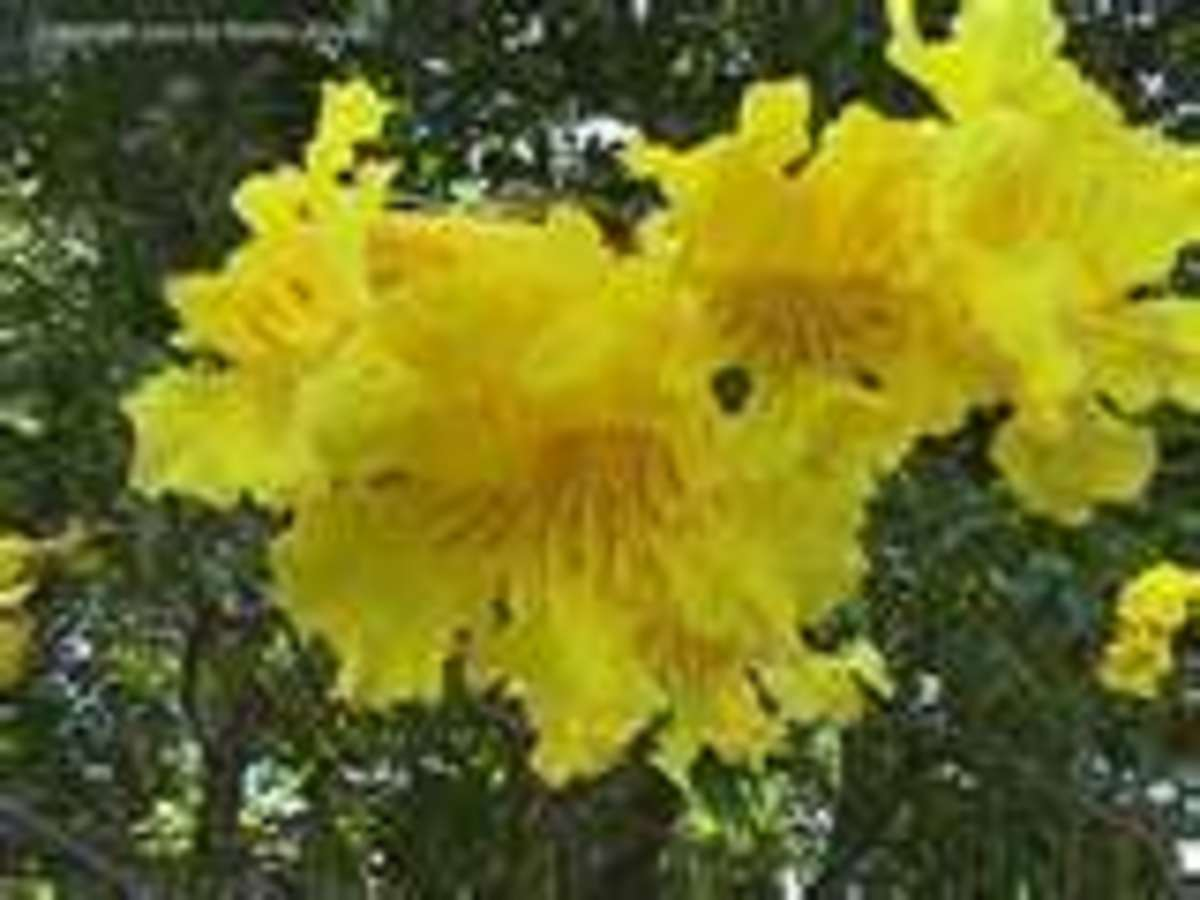 This is a blossom on the Tabebuia Tree.