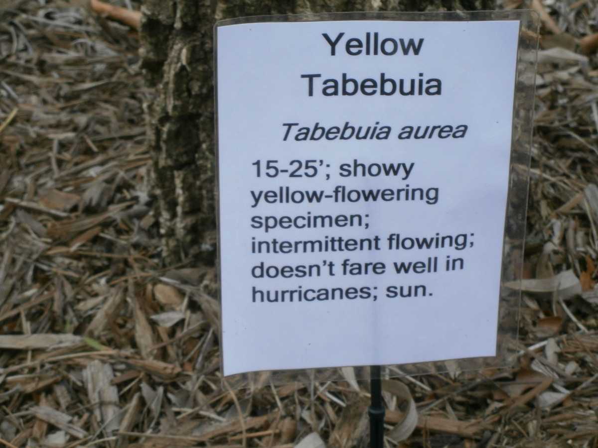 This lucky resident of Stuart, Florida has a yellow tabebuia in their yard