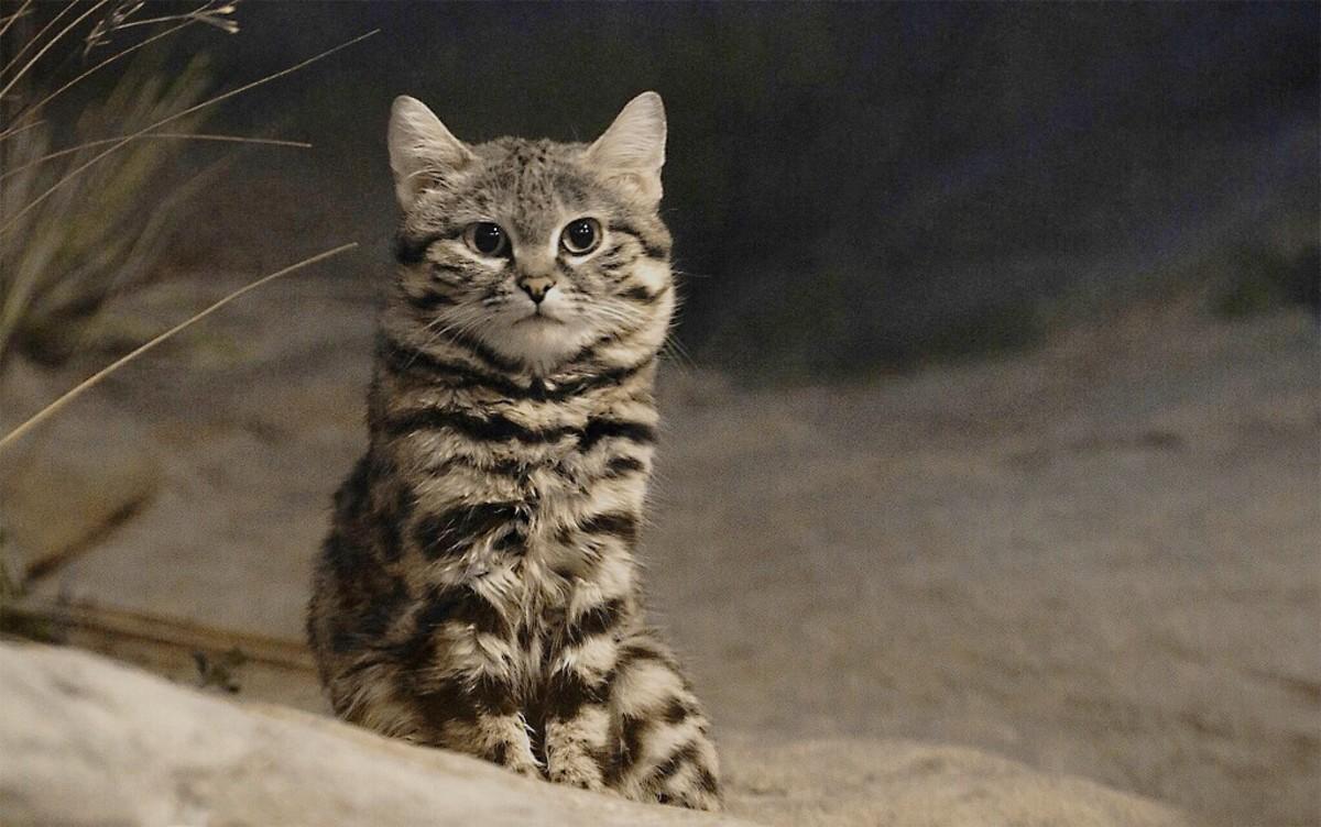 A Felis nigripes kitten
