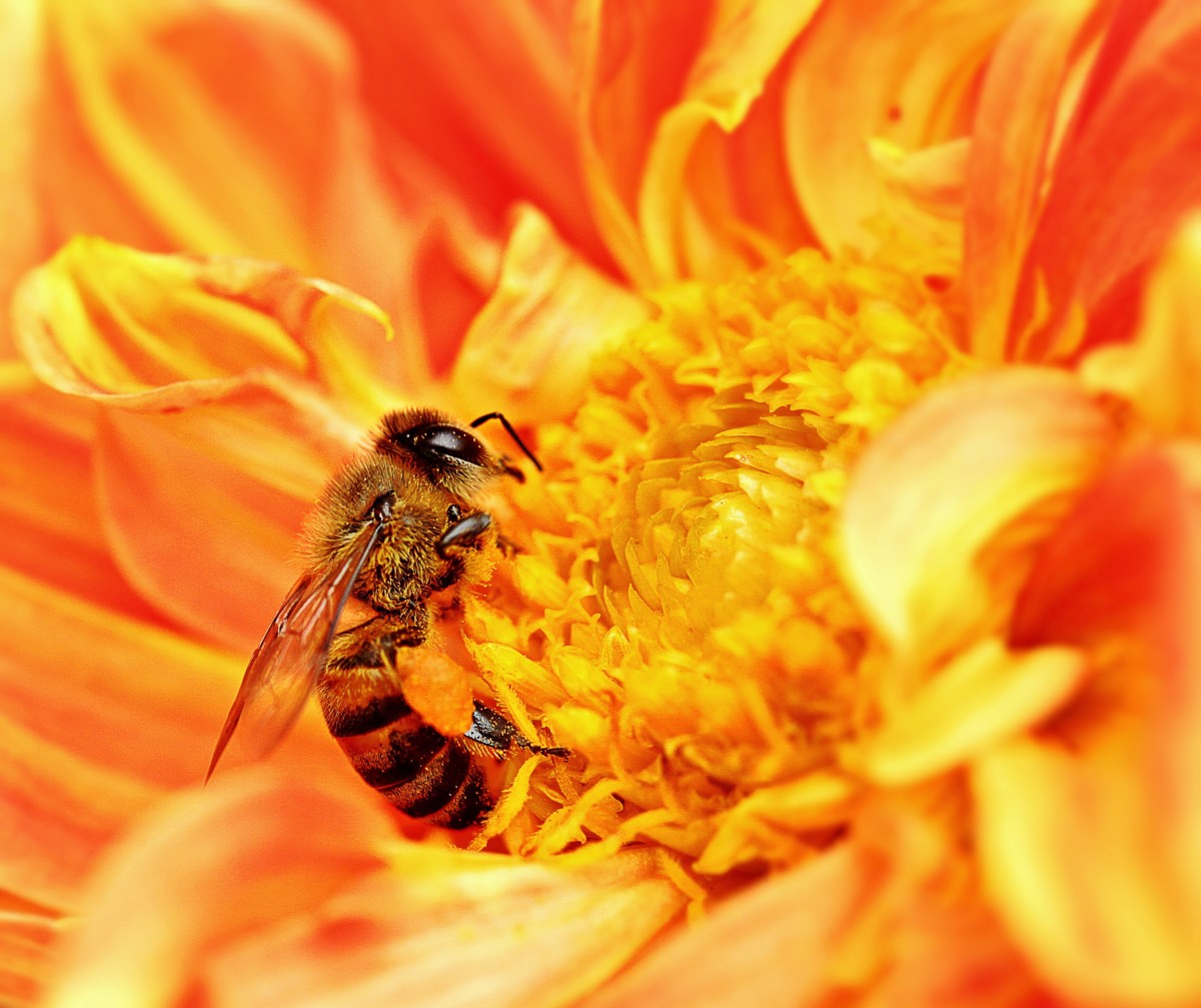 A honeybee in Tanzania