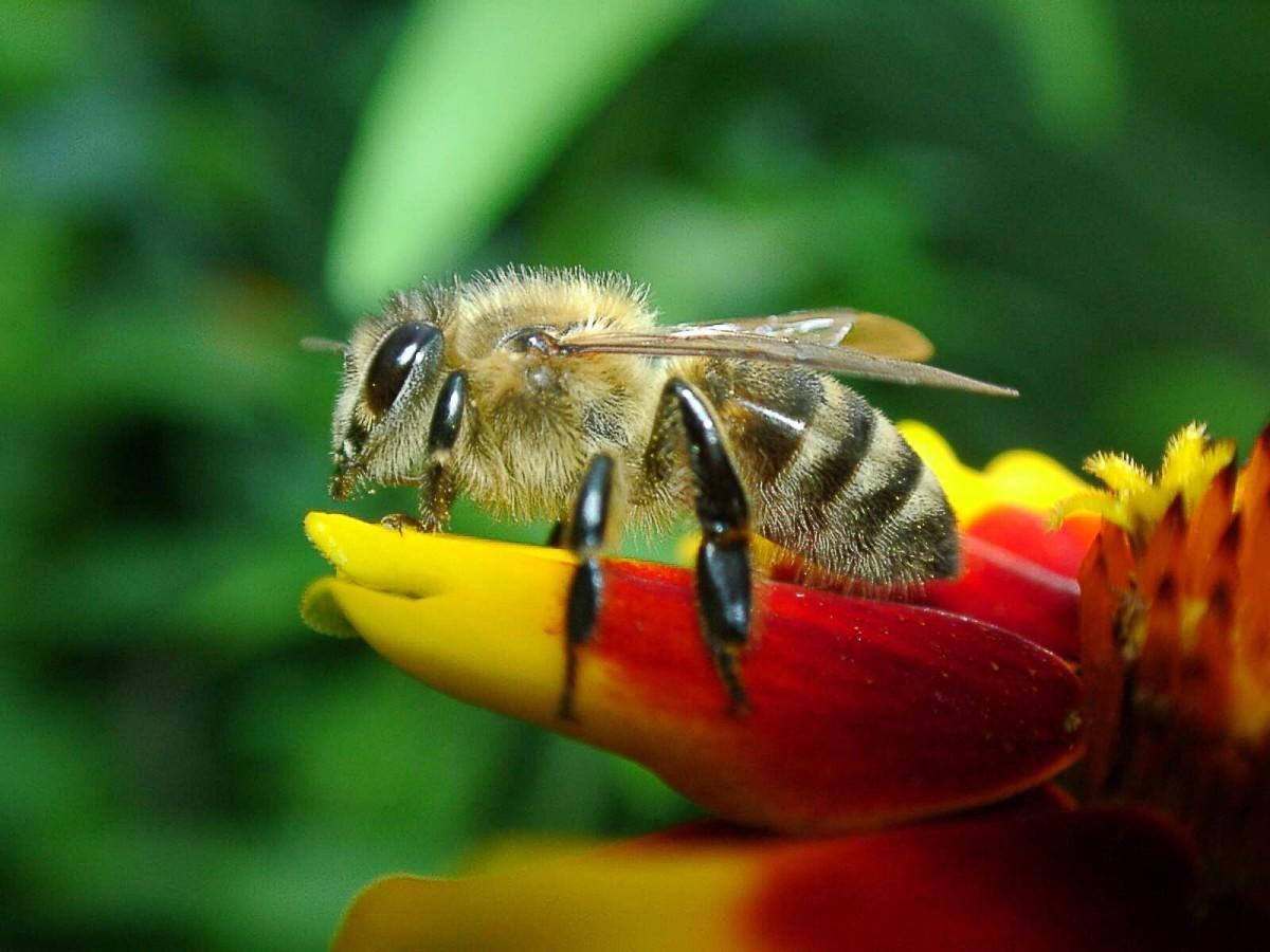 A western honeybee