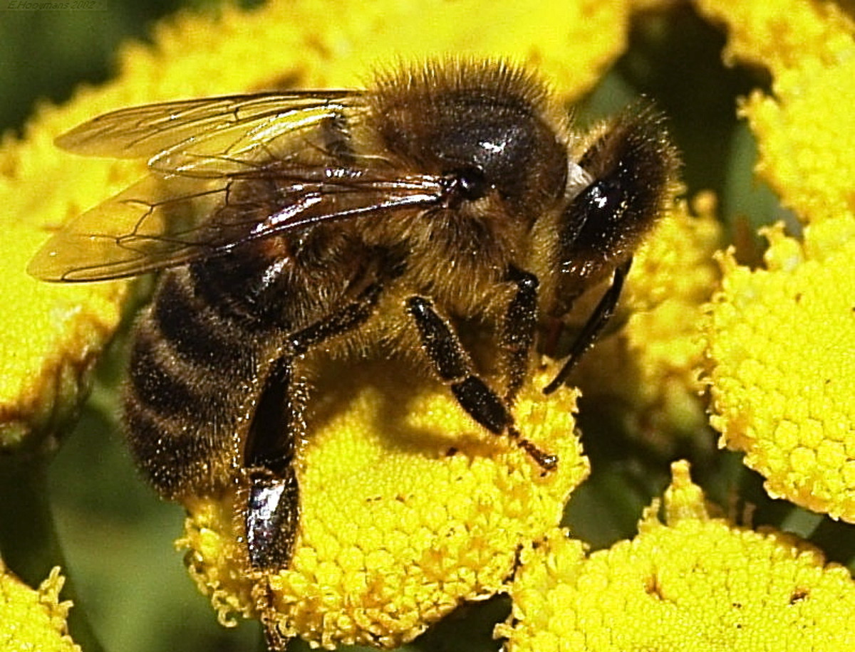 A honeybee exploring a flower