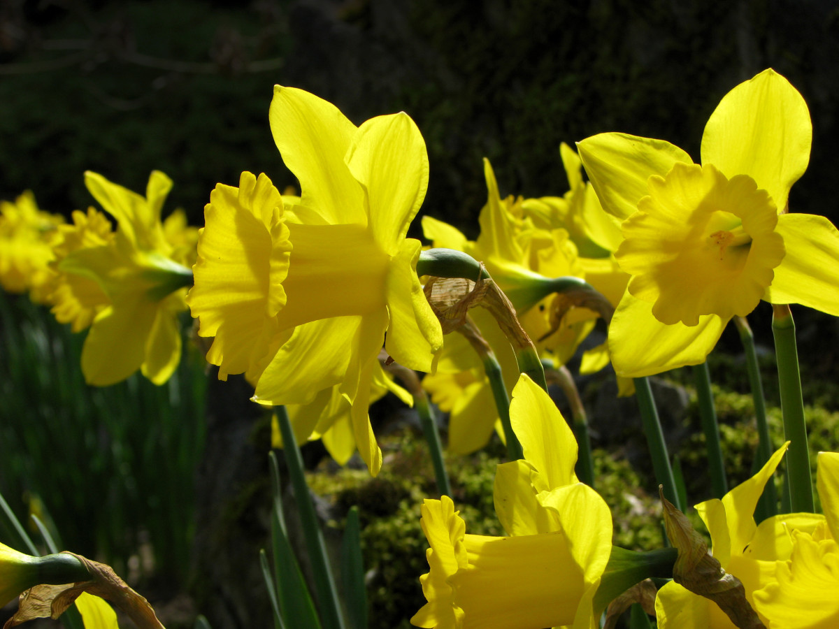 "Romantic poets, especially Wordsworth, found solace and inspiration in Nature. One of Wordsworth's most famous poems is ""Daffodils."""
