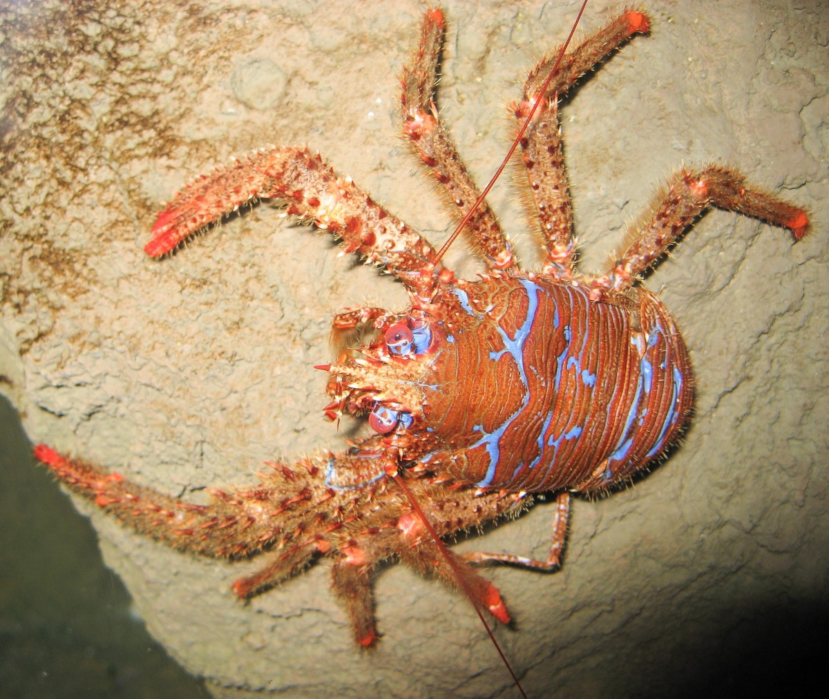 An example of a squat lobster (Galathea strigosa)