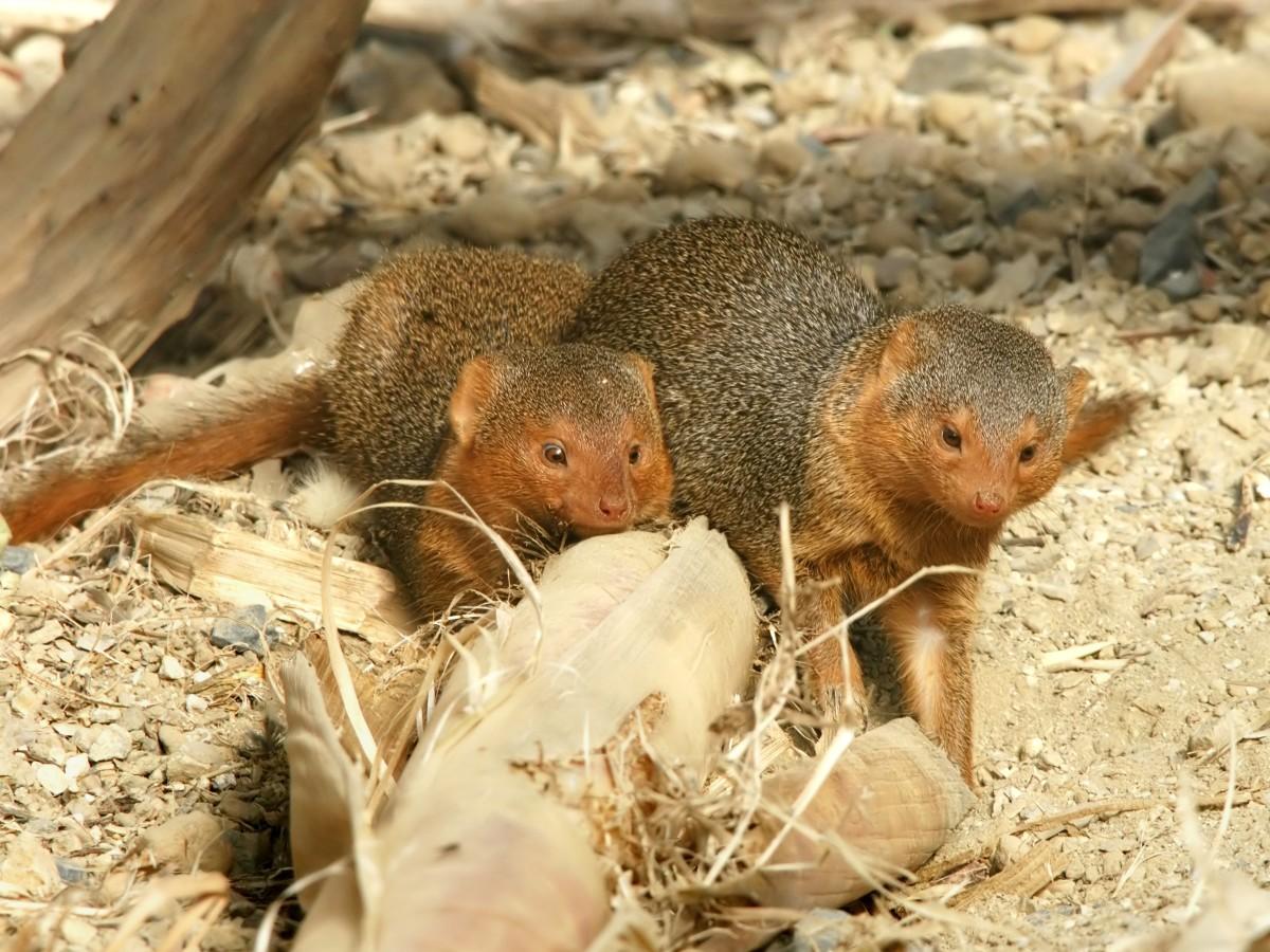 Captive dwarf mongooses in Belgium