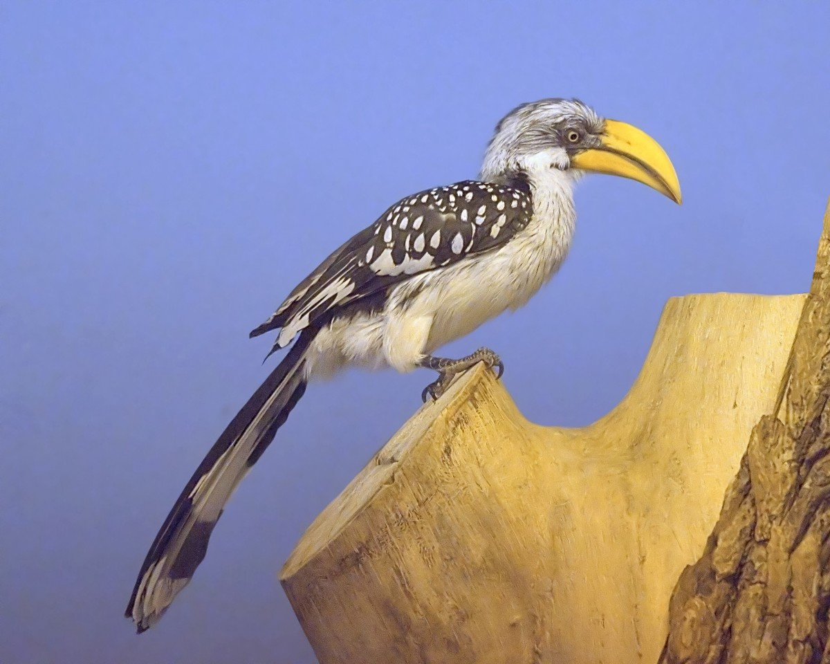 The eastern yellow-billed hornbill (also known as the northern yellow-billed hornbill) is one species that has formed a mutualistic relationship with dwarf mongooses. This bird was photographed in a zoo.