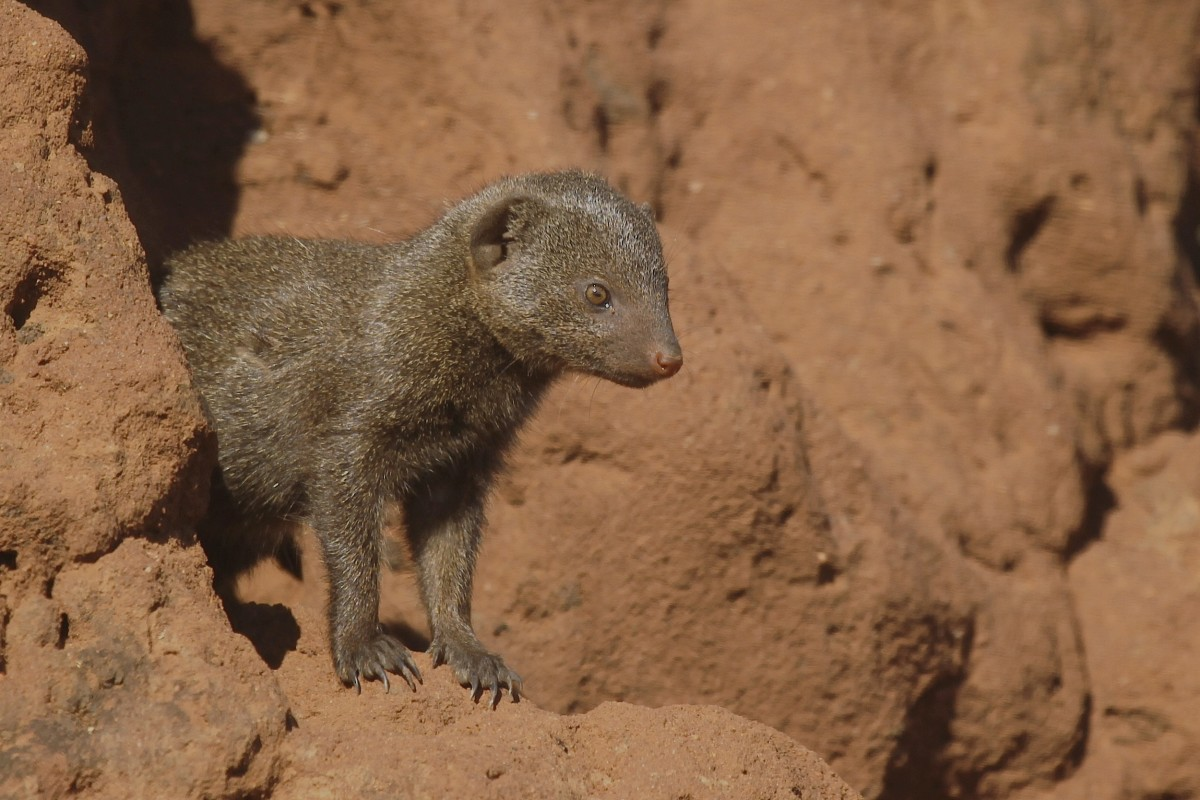 A young dwarf mongoose in Kruger National Park, South Africa