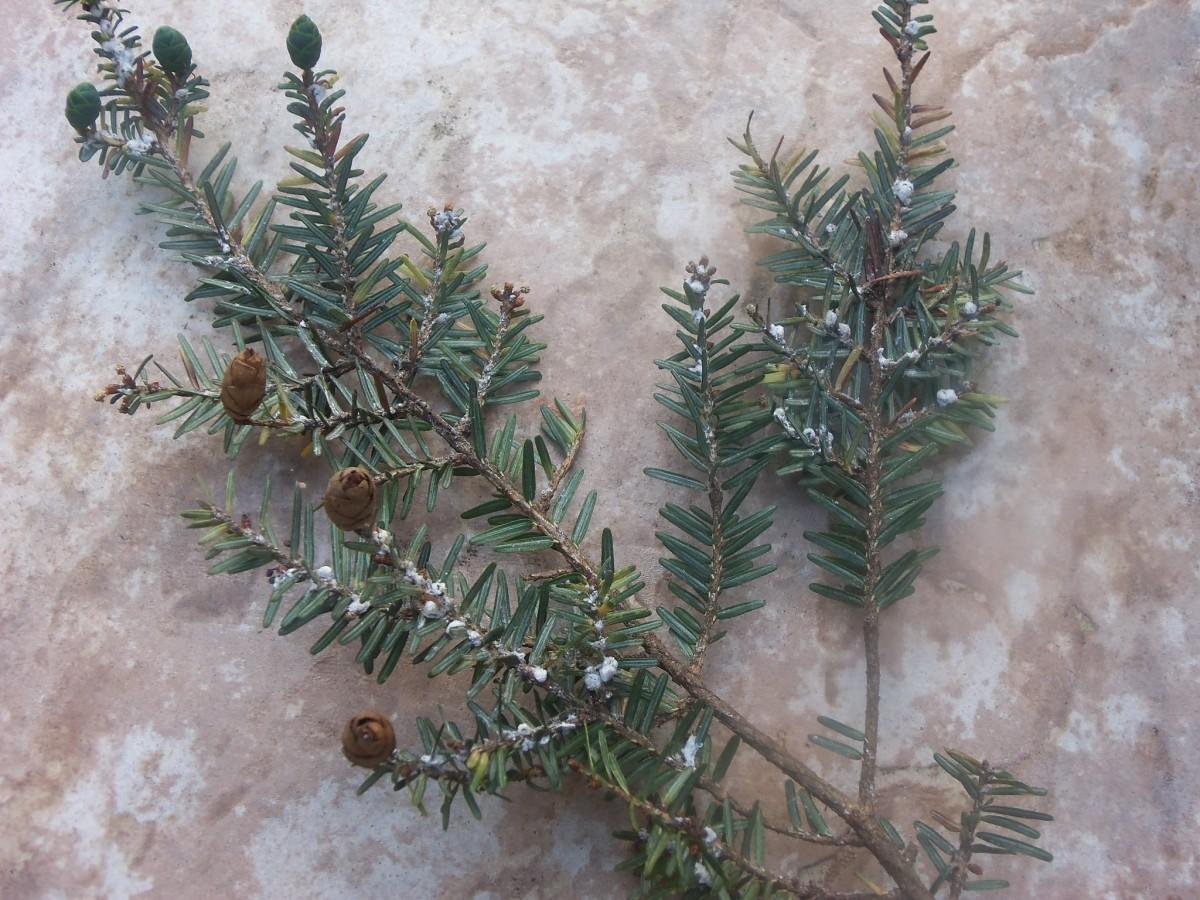 why-the-eastern-hemlock-tree-is-endangered-can-the-hemlocks-be-saved