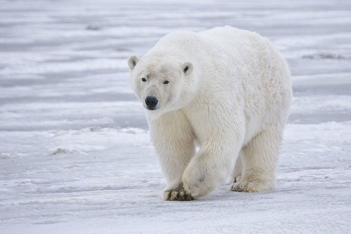 Polar Bears are the only animals that routinely hunt humans, due to the fact that we are relative newcomers to its Arctic domain.