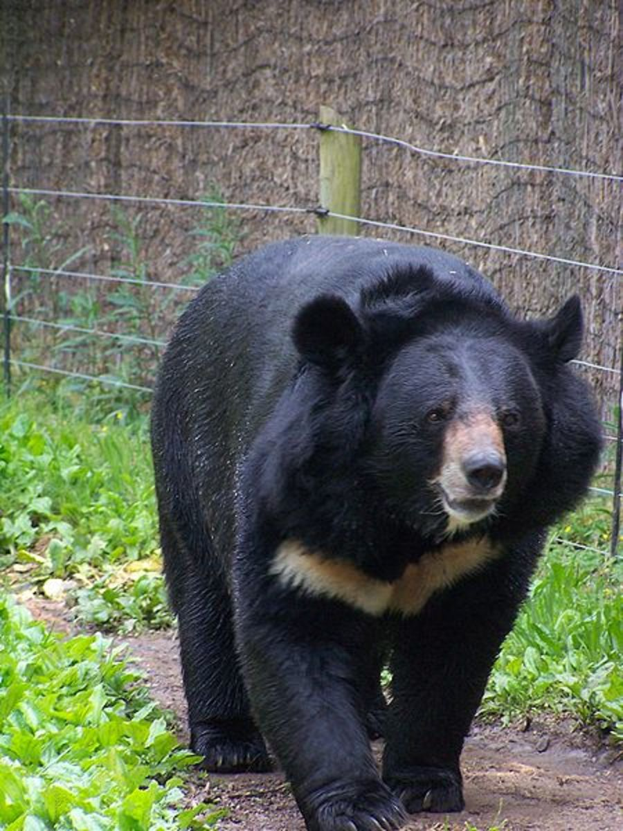 Believe it or not, the black bear is more aggressive than its larger brown cousin.