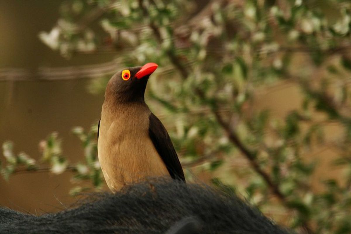 The call of the red billed oxpecker could alert you to the presence of a hippo and thus save your life.