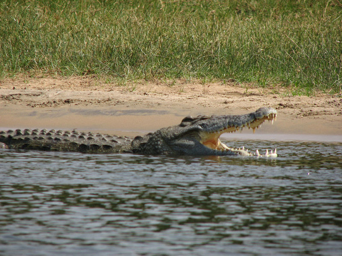 Nile crocodiles can go without food for up to nine months, usually doing most of their feeding during the annual wildebeest migration.