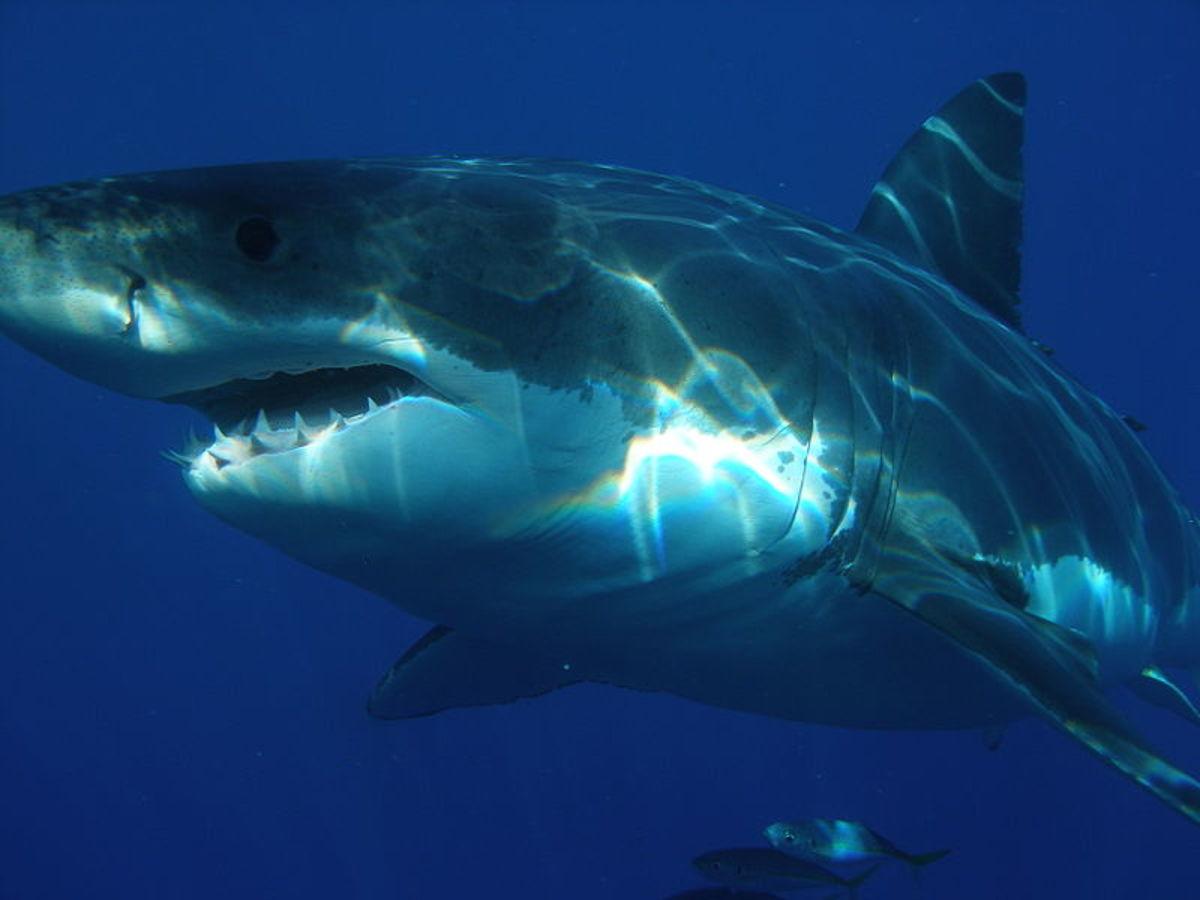 The great white shark.