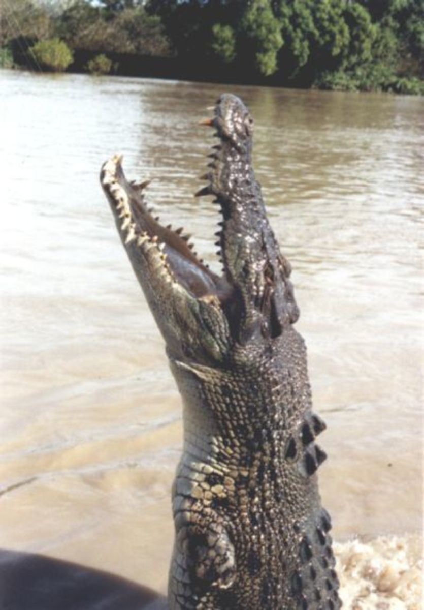 A saltwater crocodile leaping out of the water in Australia.
