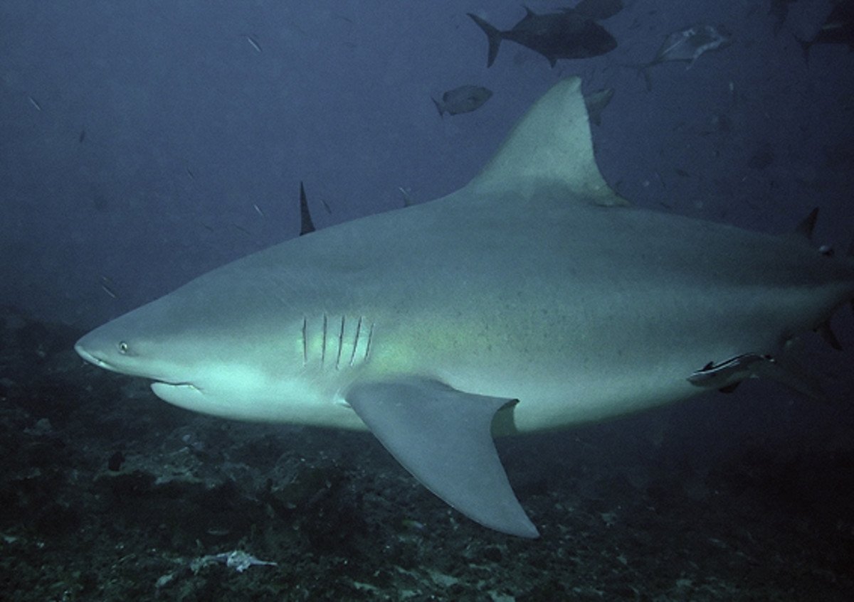 The bull shark.