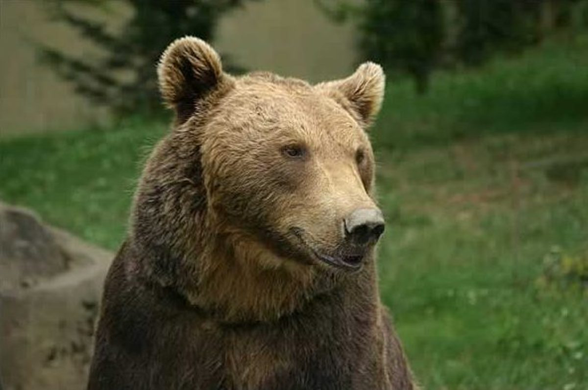 This is a European brown bear, the largest carnivore to be found on the European continent.
