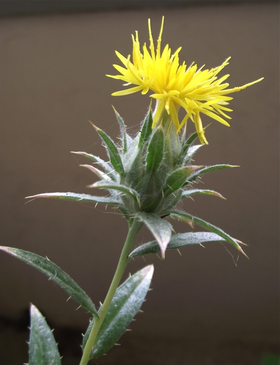 Another safflower plant