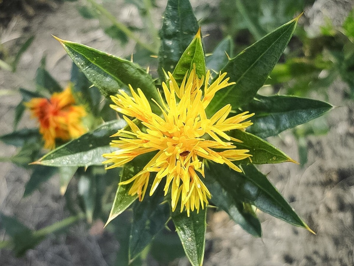 A yellow safflower